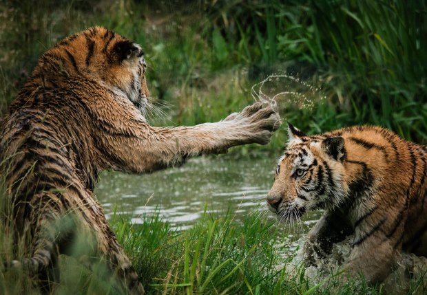 tigers fighting_Photo by Frida Bredesen on Unsplash